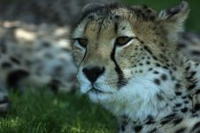 Free Male Cheetah Royalty Free Stock Images - 5312009