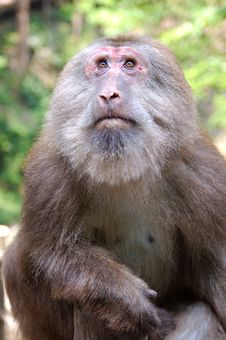 Monkey At Mount Emei Stock Images
