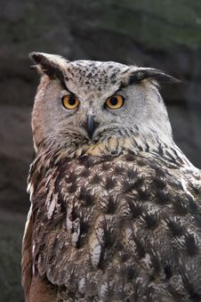 Free Owl. Stock Photography - 5312172