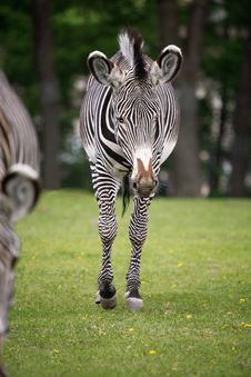 Free Zebra. Royalty Free Stock Photos - 5312178