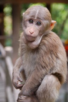 Monkey At Mount Emei Stock Photo