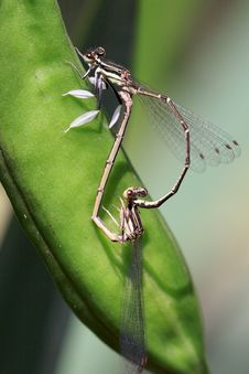 Copulating Damselflies Stock Photography