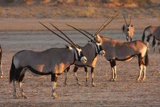 Free Gemsbok River Bed Stock Photo - 5312440