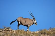 Free Gemsbok Dune Stock Photography - 5312672
