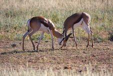 Free Springbok Fighting Stock Photos - 5313283