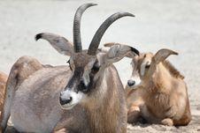 Free Flock Of Antelopes Royalty Free Stock Photos - 5313318