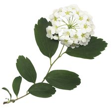 Free Green Spring Branch Royalty Free Stock Photo - 5315605