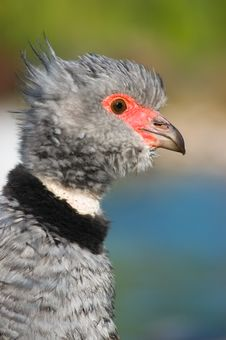 Free Southern Screamer (Chauna Torquata) Royalty Free Stock Photos - 5315768