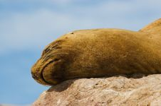 Free Sea Lion. Royalty Free Stock Photos - 5315898