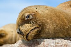 Free Sea Lion. Royalty Free Stock Photography - 5315997