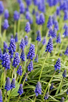 Free Muscari In Garden Royalty Free Stock Photo - 5316115