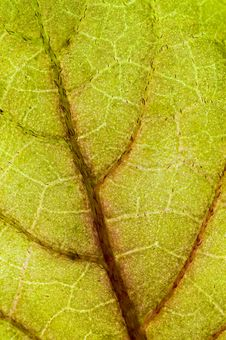 Free Leaf Closeup. Royalty Free Stock Photography - 5316477