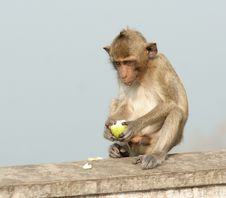 Free A Monkey Eating Apple Royalty Free Stock Images - 5316549