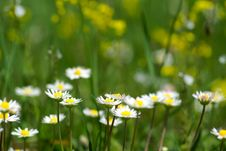Free Nice Summer Meadow With Camomiles Stock Photos - 5317723