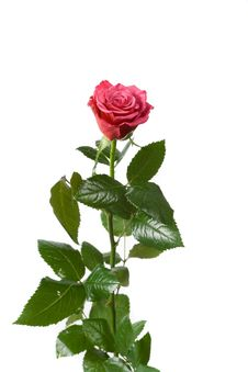 Free Red Rose On White Royalty Free Stock Image - 5318186