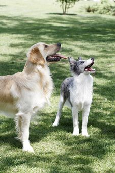 Free Golden Retriever And Collie. Stock Photo - 5318200