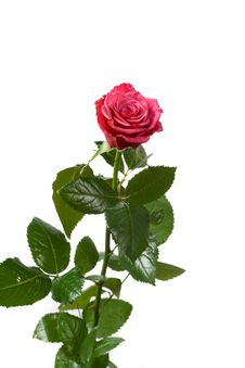 Free Red Rose On White Stock Photography - 5318242