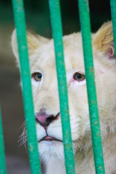 Free The White Lion Royalty Free Stock Photos - 5318298