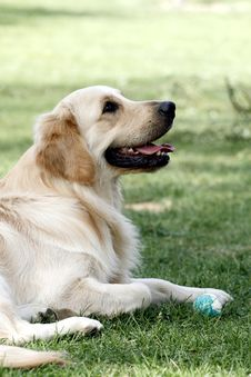 Free Golden Retriever Stock Photos - 5318493