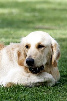 Free Golden Retriever Stock Images - 5318564