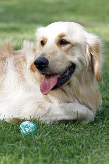 Free Golden Retriever Royalty Free Stock Image - 5318566