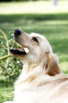 Free Golden Retriever Stock Image - 5318671