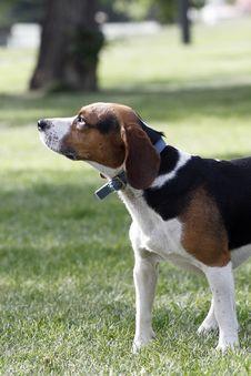 Free Beagle Dog Royalty Free Stock Images - 5318719
