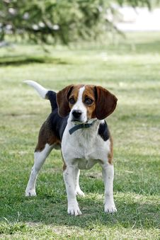 Beagle Dog. Royalty Free Stock Photography