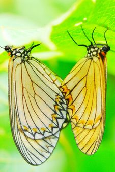Free Butterfly(Acraea Issoria Hubner) Stock Image - 5319081