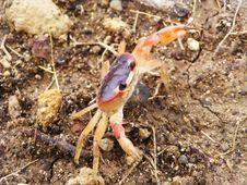 Free Crab Royalty Free Stock Photos - 5319238