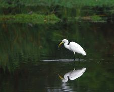 Egret Reflection Stock Photography