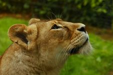 Free Lioness Royalty Free Stock Photography - 5319637