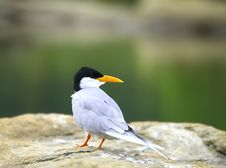 River Tern Royalty Free Stock Photography