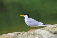 Free River Tern Royalty Free Stock Photography - 5319677