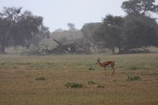 Free Springbok Rain Stock Photography - 5319822