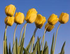 Free Tulips Stock Photo - 5319830