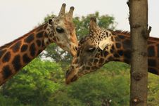 Free Giraffe Love Royalty Free Stock Photo - 5319835