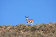 Free Springbok Ram Royalty Free Stock Images - 5319849