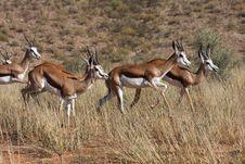 Free Springbok Running Royalty Free Stock Images - 5319909