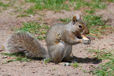Free Squirrel Nut Stock Photos - 5319943
