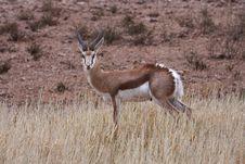 Free Springbok Wet Royalty Free Stock Photography - 5319977
