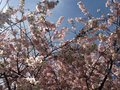Free Cherry Tree Blossom. Royalty Free Stock Photo - 53130225