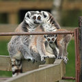 Free Ring Tailed Lemur Stock Photography - 5320412