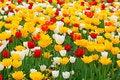 Free Beautiful Tulips Royalty Free Stock Image - 5321676