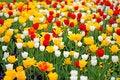 Free Beautiful Tulips Royalty Free Stock Photo - 5321745