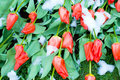 Free Tulips In Snow On Green Grass Royalty Free Stock Image - 5321966