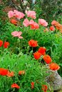 Free Poppies Royalty Free Stock Photography - 5323557