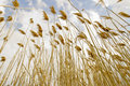 Free Tall Grasses Stock Image - 5324041