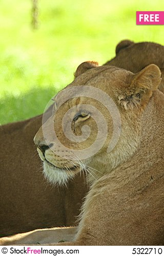 Free Lioness Stock Photo - 5322710