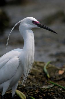 Free Egrets Portrait Royalty Free Stock Photo - 5320025